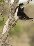 Black and White Colobus Monkey (Colobus Guereza) in Tree  Mount Kenya National Park  Kenya  Africa
