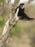 Black and White Colobus Monkey (Colobus Guereza) in Tree  Mount Kenya National Park  Kenya  Africa