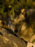 Gray Wolf (Canis Lupus) Hiding  Seacrest Wolf Preserve  Florida  USA