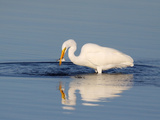 Great Egret (Ardea Alba) with Small Pinfish  Florida  USA