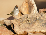 Green-Tailed Towhee (Pipilo Chlorurus)  Arizona  USA