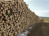 Spruce and Fir Logs Stacked Near Flagstaff Lake  Maine  USA