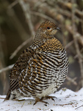 Female Spruce Grouse (Falcipennis Canadensis)  Maine  USA