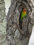 Fischer&#39;s Lovebird in its Nest Hole in a Tree Trunk (Agapornius Fischeri) Seregenti  Tanzania