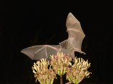 Lesser Long-Nosed Bat (Leptonycteris Curasoae) Feeding at Agave Palmeri Flowers