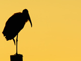 Wood Stork (Mycteria Americana)  Florida  USA