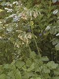 Sicilian Honey Lily (Nectaroscordum Siculum)