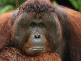 Male Borneo Orangutan (Pongo Pygmaeus)  Camp Leaky  Tanjung Puting National Park  Kalimantan