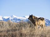 Gray Wolf (Canis Lupus) Hunting  Wyoming  USA