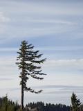 Pine Tree Shaped by Wind  Cascade Mountains  Oregon  USA