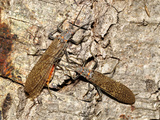 Adult Male (Right) and Female Salmonflies (Pteronarcys Californica)