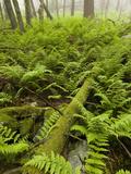 Ferns on the Forest Floor  Pennsylvania  USA