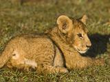 African Lion (Panthera Leo) Cub Resting  Masai Mara  Kenya