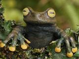 Linda's Treefrog (Hyloscirtus Lindae)  Coln  Depart  Putumayo  Colombia