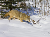 Coyote (Canis Latrans) Walking in the Snow