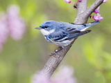 Male Cerulean Warbler (Dendroica Cerulea) on Redbud Branch