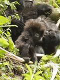 Female Mountain Gorilla (Gorilla Beringei Beringei) with Young in Day Nest Resting