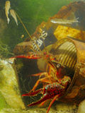 A Red Swamp Crayfish (Procambarus Clarcki) Hiding in a Rusty Can