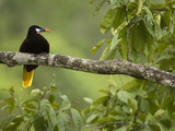 Montezuma's Oropendola (Psarocolius Oropendola  Arenal  Costa Rica