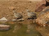 Gambel's Quail Chicks at a Waterhole (Callipepla Gambelii)  Arizona  USA