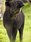The Baird's Tapir (Tapirus Bairdii) Is an Animal That Is Nearing Extinction  Costa Rica
