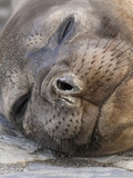 Southern Elephant Seal Resting on the Beach (Mirounga Leonina)  Falkland Islands