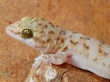 Gecko Head (Hemidactylus Robustus)  Socotra  Yemen