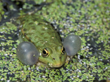 Lake Frog or Marsh Frog Calling (Rana Ridibunda)  Switzerland