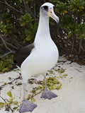 Laysan Albatross (Phoebastria Immutabilis)  Midway Atoll National Wildlife Refuge  Hawaii  USA