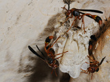 Wasps (Belonogaster Petiolata) Building a Nest at the Entrance of a Cave  Socotra Island  Yemen