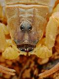 Venomous Scorpion Head (Hottentotta Socotrensis) Endemic to Socotra  Yemen