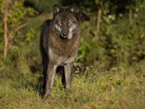 Gray Wolf (Canis Lupus) in Black Phase at Seacrest Wolf Preserve  Florida  USA