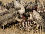White-Backed Vultures Scavenging on a Zebra Kill  Gyps Africanus  East Africa