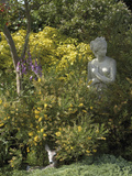 Lydia Broom (Genista Lydia) and Mexican Orange Blossom (Choisya Ternata) Sundance Variety