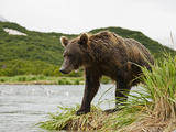 Brown Bear (Ursus Arctos) Hunting Pink Salmon in a Spawning River in Katmai National Park  Alaska