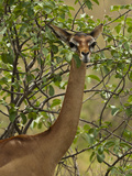 Female Gerenuk (Litocranius Walleri) Foraging for Food  Samburu Game Reserve  Kenya  Africa
