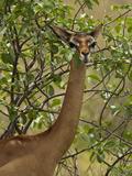 Female Gerenuk (Litocranius Walleri) Foraging for Food  Samburu Game Reserve  Kenya  Africa