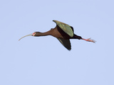 White-Faced Ibis in Flight (Plegadis Chihi)  Montana  USA