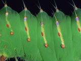 Polyphemus Moth Larva or Caterpillar Showing Details of the Segments  Bristles  and Spiracles