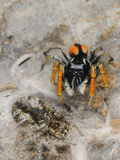 A Male Jumping Spider (Philaeus Chrysops) Mate Guarding its Female