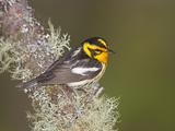 Male Blackburnian Warbler (Dendroica Fusca)  Maine  USA
