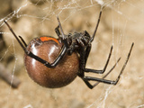 Female Black Widow Spider in its Web (Latrodectus Mactans)