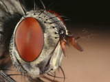 Fly Head Showing its Large Compound Eye