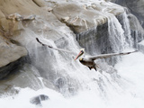 Brown Pelican (Pelecanus Occidentalis) in Flight  Waves Breaking in Background  La Jolla