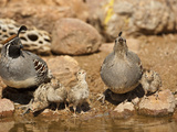 Gambel&#39;s Quail Family Drinking at a Waterhole (Callipepla Gambelii)  Arizona  USA
