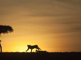 African Lion Silhouette Running across the Savanna Chasing Prey at Sunset (Panthera Leo)