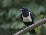 Indian Pied Crow  Corvus Albus  Kenya  Africa