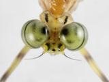Mayfly (Ephemeroptera) Showing the Eye Structure