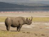 Black Rhinoceros (Diceros Bicornis) Grazing in the Samburu  Kenya