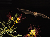 Lesser Long-Nosed Bat (Leptonycteris Curasoae) an Endangered Species  Flying at Night